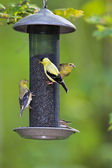 Yellow Birds at a Feeder — Stock Photo