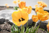 Yellow tulips in a Garden — Stock Photo