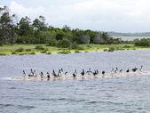Flock of Pelicans — Stock Photo