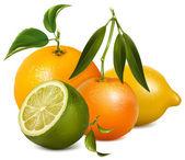 Vector citrus fruits. — Stock Vector