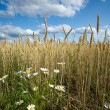 Wheat Field with Chamomile — Stock Photo