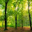 Sunburst in Fairytale Beech Forest — Stock Photo