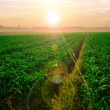 Cornfield at Sunrise — Stock Photo