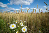 Chamomile on the Edge of Wheat Field — Stock Photo