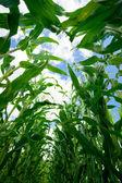 Corn Field - inside — Stock Photo