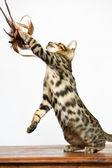 Bengal Kitten playing — Stock Photo