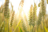 Ripe Wheat in Sunset — Stockfoto