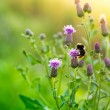 Bumblebee on Thistle Flowers — Stock Photo