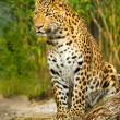 Leopard sitting on a Rock - Stock Photo