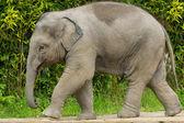 Baby Elephant walking — Stock Photo