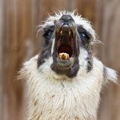 Bad Hair Day - Alpaca — Stock Photo