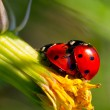 Ladybug Love — Stock Photo #11998598