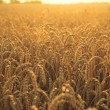 Wheat at sunset — Stock Photo