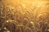 Wheat at sunset — Stock Photo