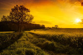 Canola Field At Sunset — Stock Photo