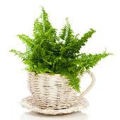 Fern In Wicker Pot — Stock Photo
