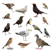 British Garden Birds — Stock Photo