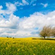 Canola Field Panorama - Stock Photo