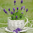 Garden Lavender — Stock Photo
