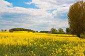 Campo di colza — Foto Stock