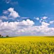 Canola Field — Stock Photo #11541143