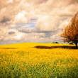 Surreal Canola Field — Stock Photo