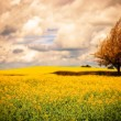 Surreal Canola Field — Stockfoto