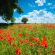 Stock Photo: Summer Poppy Field