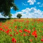 Summer Poppy Field — Stock Photo