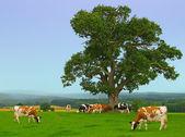 Misty Cows — Stock Photo