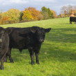 Black Cows — Stock Photo
