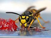 Wasp eating jelly — Stock Photo