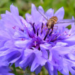 Hover fly on a blue flower — Zdjęcie stockowe