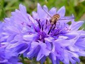 Hover fly on a blue flower — Stock Photo