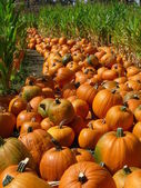 Rows of Pumpkins — Stockfoto