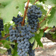wine grapes — Stock Photo