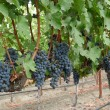 Stock Photo: Clusters of grapes
