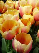 Blushing Tulips — Fotografia Stock