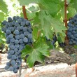 Wine Grapes — Stock Photo #11461196