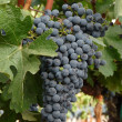 Stock Photo: WIne Grapes