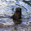 A_little_sealion — Stock Photo