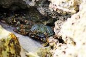 Colourful Crab — Stock Photo