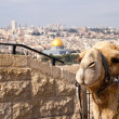 Royalty-Free Stock Photo: Camel Jerusalem