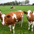 Brown white cows — Stock Photo