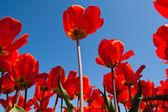 Kırmızı lale — Stok fotoğraf