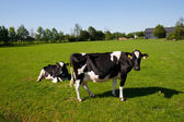 Two cows — Stock Photo