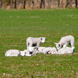 Lambs Spring — Stock Photo