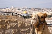 Camel Jerusalem — Stock Photo