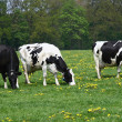 Royalty-Free Stock Photo: Three cows