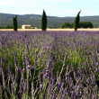 Provence lavendel — Stock Photo